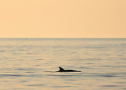 Bottle nose dolphin dorsal fin silhouette at sunset off Jekyll Island