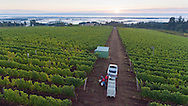 Pinot Noir harveset at Brooks Estate vineyard, Eola-Amity Hills AVA, Willamette Valley, Oregon