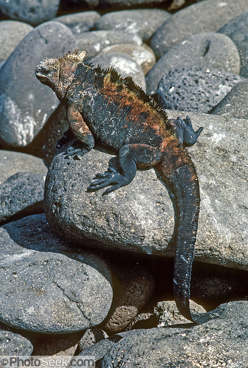 A Galapagos Marine Iguana (Amblyrhynchus cristatus) displays red and yellow breeding colors on the Galápagos Islands, Ecuador, South America. Marine Iguanas, the world's only sea-going lizard species, are found nowhere else on earth. Marine Iguanas feed almost exclusively on marine algae, expelling the excess salt from nasal glands while basking in the sun, coating their faces with white. Marine Iguanas live on the rocky shore or sometimes on mangrove beaches or marshes. Most adults are black, some grey, and the young have a lighter colored dorsal stripe. The somber tones allow the species to rapidly absorb the warm rays of the sun to minimize the period of lethargy after emerging from the frigid water, which is cooled by the Humboldt Current. Breeding-season adult males on the southern islands are the most colorful and will acquire reddish and teal-green colors, while Santa Cruz males are brick red and black, and Fernandina males are brick red and dull greenish. The iguanas living on the islands of Fernandina and Isabela (named for the famous rulers of Spain) are the largest found anywhere in the Galápagos. The smallest iguanas are found on Genovesa Island. Fernandina Island was named in honor of King Ferdinand II of Aragon, who sponsored the voyage of Columbus.