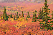 Fall foliage in Denali National Park