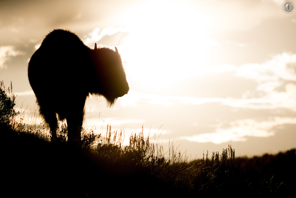 Bison silhouette directly in front of the sunset, taken in the Hayden valley, Yellowstone National Park, USA.