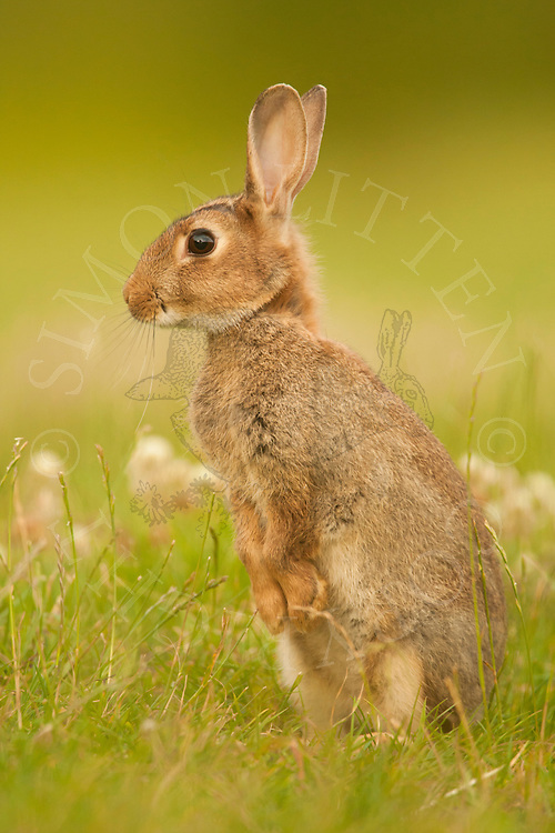 European Rabbit (Oryctolagus cuniculus) adult alert in field margin, Norfolk, Uk.