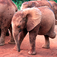 Africa, Kenya, Nairobi. Orphaned baby elephants cared for at David Sheldrick's Wildlife Trust in Nairobi.