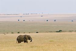 Elephant at Masai Mara (also spelled Maasai Mara), a large park reserve in south-western Kenya. Elephants (Elephantidae) are a family in the order Proboscidea in the class Mammalia. / Elefante na Reserva Nacional Masai Mara, o mais famoso parque nacional do Quenia,  situado no enorme Vale do Rift.