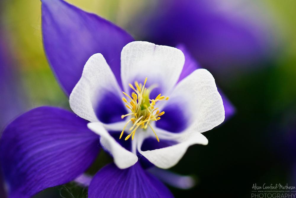 aquilegia columbine flower  alison cornfordmatheson, Beautiful flower