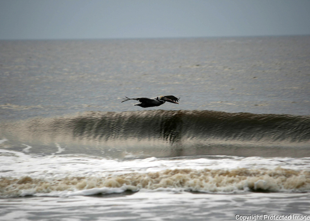 A Brown Pelican skimming the top of a breaking wave off the Jekyll Island beach.