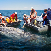 """A gray whale touching humans. San Ignacio Lagoon, Baja California, Mexico. Published in """"Light Travel: Photography on the Go"""" book by Tom Dempsey 2009, 2010."""