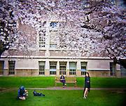 HL00012-00...WASHINGTON - Holga image of people under cherry trees blooming in the Quad at the University of Washington, Seattle.