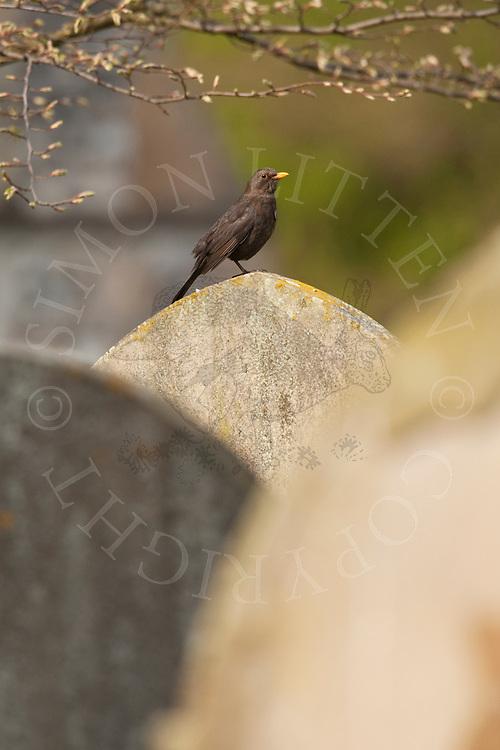 European Blackbird (Turdus merula) adult on gravestone in churchyard, UK