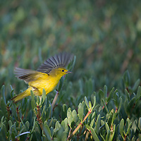 A Yellow Warbler on a small island in Portland Bight Protected Area, Jamaica