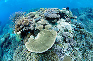 Platelike corals ( Acropora sp ) intercept light forits symbiotic algae and shades out potential competitors beneath.Great Barrier Reef, Australia, Pacific Ocean