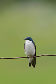 Misc. Swallows