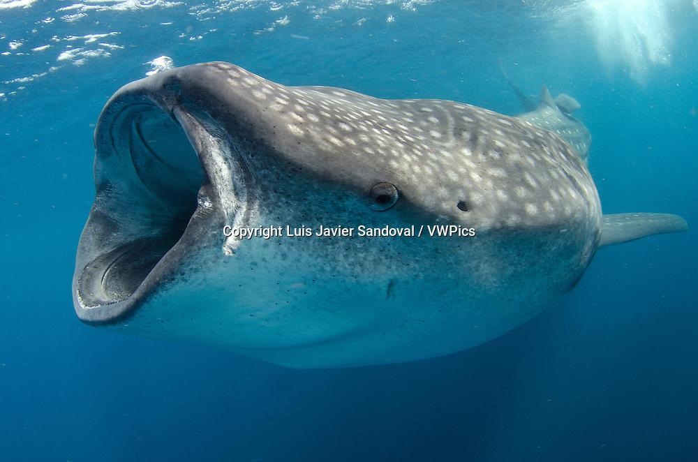 whale shark  rhincodon...
