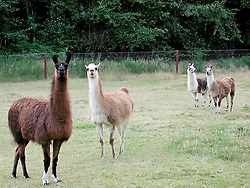 Four Llamas in a pasture curiously look to the camera. Silverdale, Washington, USA