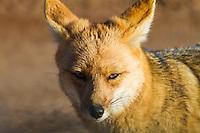 Fox at 4500 msl, Atacama, Chile