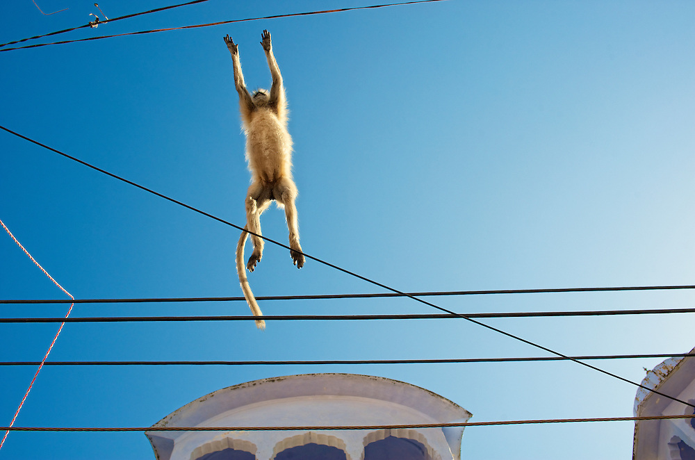 A monkey jumping from one building to another, Pushkar, Rajasthan.