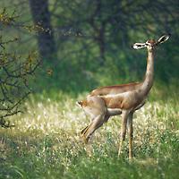 A shy gerenuk briefly stopping before a speedy escape. Samburu National Park, Kenya