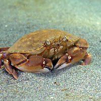 A Graceful Crab at the Alki Pipeline in Seattle, WA.