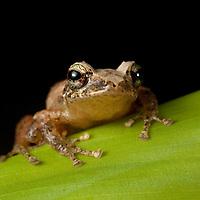 Rain frog, Choco