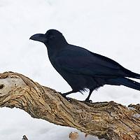 Jungle crow, Hokkaido, Japan