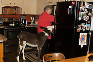 Martha Fossom prepares food in her kitchen for pet donkey (Lucy), Livingston Montana