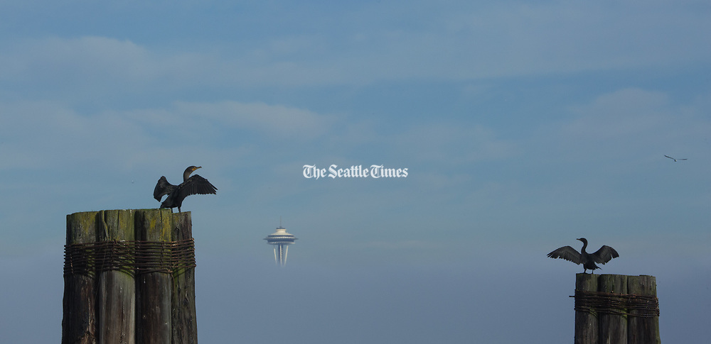 Cormorants dry their wings on pilings along the West Seattle waterfront -- the top of the space needle peeks through the fog at center. (Ellen M. Banner / The Seattle Times)