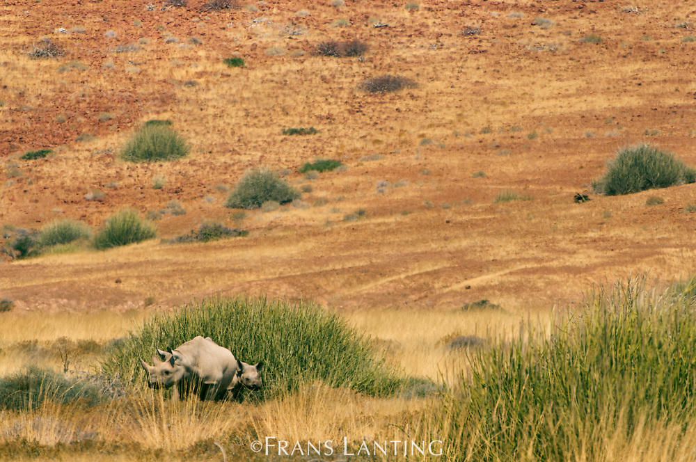 Desert black rhino and calf, Diceros bicornis, Palmwag, Torra Conservancy, Damaraland, Namibia