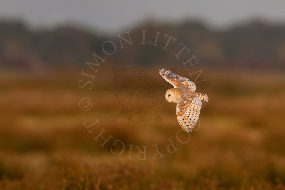 Barn Owl (Tyto Alba) adult in flight across grazing marsh, Norfolk, UK