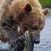 USA, Alaska, Windfall Harbor, Brown (Grizzly) Bear (Ursus arctos) feeding on spawning Sockeye Salmon (Oncorhynchus nerka ) in Windfall Creek