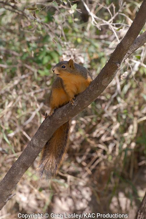 Fox Squirrel.Sciurus niger.Llano Grande State Park,.Weslaco,.Hidalgo Co., Texas.11 December 2010