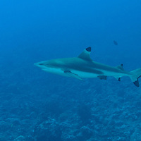 A Black Tip Reef Shark in Tahiti, French Polynesia.