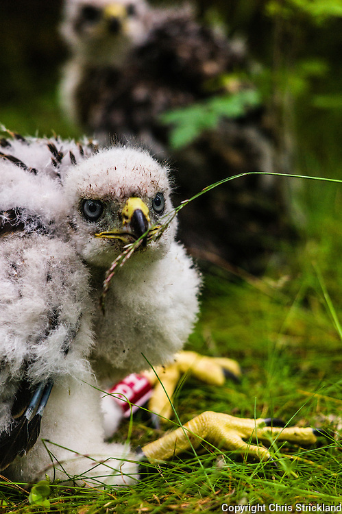Hawick, Scottish Borders, UK. 24th June 2015. Goshawk chicks about a month old being ringed in order to monitor their population levels. There are less Goshawks than Golden Eagles in the UK, although the Scottish Borders is a stronghold for the bird due to well managed habitat and persecution prevention.