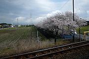 From Nagoya to Obama, Cherry blossoms