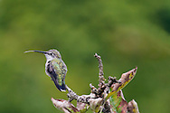 A Female Anna's Hummingbird (Calypte anna) flicking her tongue while perched in a tree. This is most likely a female Annas but it could be a juvenile.   Photographed during the summer in the Fraser Valley of British Columbia, Canada.