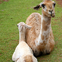 Americas, South America, Peru. A mother llama and baby cria at Awana Kancha breeding center in the Urubamba Valley.