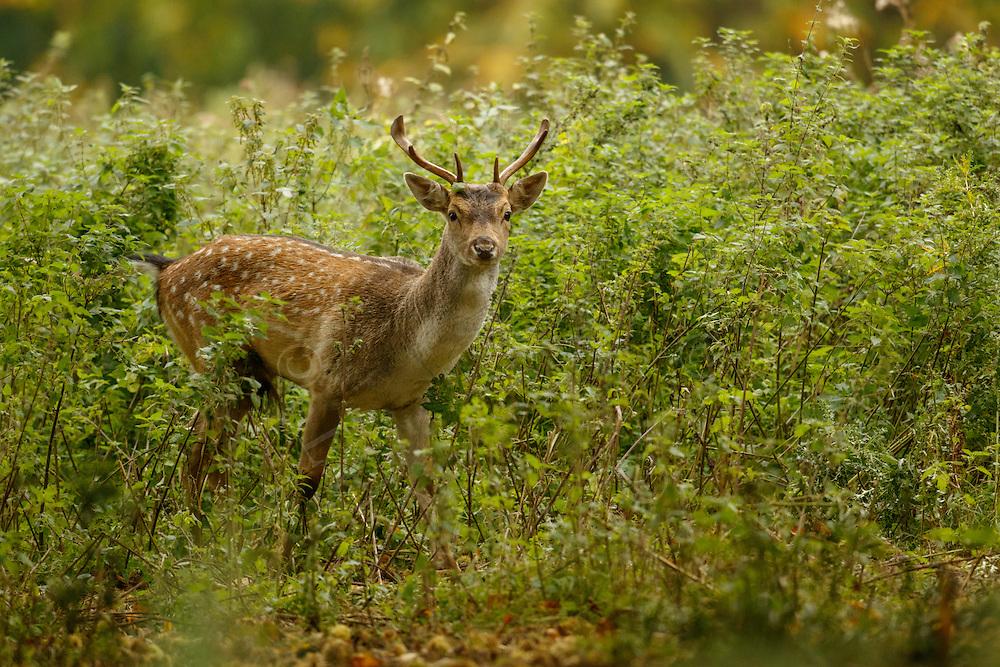 Fallow Deer (Dama dama) Young male emerging from vegetation in woodland, Norfolk, UK.