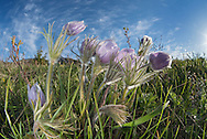 Pasqueflower (Pulsatilla patens), Mt. Ellis, Bozeman, Montana