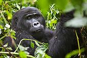 Mountain gorilla trekking. Uganda.
