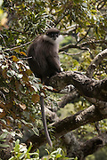 Horton Plains National Park, Sri Lanka. The Purple-faced Langur (Trachypithecus vetulus), or Purple-faced Leaf Monkey, is a species of Old World monkey endemic to Sri Lanka.