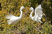 White Heron Pictures - Photos
