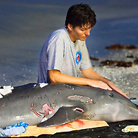 Clearwater Marine Aquarium volunteer Lisa Terrill tries to soothe a dolphin which was brought onto North Redington Beach after it was attacked by a shark. After hours of trying to help the animal, it had to be euthanized. According to Diane Young, Director of Stranding Program at Clearwater Marine Aquarium, the dolphin was underweight and appeared to have a previous health condition that may have brought on the unusual shark attack...Photo by James Branaman