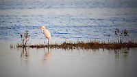 Lone Great Egret Hunting on a Small Island. On Black Point Wildlife Drive in iMerritt Island Wildlife Refuge. Image taken with a Nikon D3s and 200-400 mm f/4 VR lens (ISO 200, 400 mm, f/4, 1/500 sec)