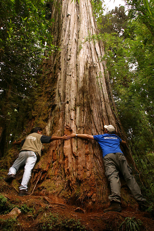 Greenpeace staffers stretch their arms around the base of a Alerce tree in Parque Pumalin, Chile, Feb. 12, 2004.  zDaniel Beltra/Greenpeace.