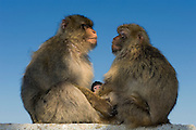 Barbary Macaques or Barbary Apes (Macaca sylvanus) &amp; baby<br /> GIBRALTAR, UNITED KINGDOM<br /> Only monkey in Europe. True monkeys not apes and the only monkey without a tail. They are arboreal and terrestrial.<br /> IUCN: ENDANGERED SPECIES