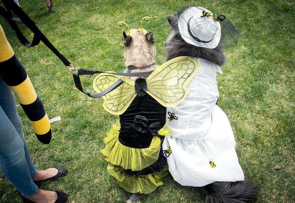 mkb041617b/metro/Marla Brose --  Sabrina Somarribas waits with her dogs Phantom, a malamute mix, dresssed as a beekeeper, and Roxy, a German Shepherd mix dressed as a bee, before the Eggs N' Beggin dog parade at Cabezon Recreation Center in Rio Rancho, Saturday, April 8, 2017. Phantom and Roxy took first place in the costume contest. (Marla Brose/Albuquerque Journal)