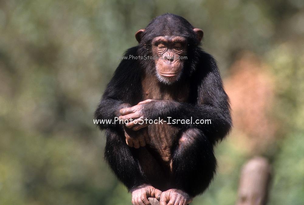 closeup portrait of a Chimpanzee (Pan troglodytes) in captivity in a zoo