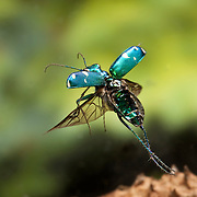 A six-spotted tiger beetle ( Cicindela sexguttata) photographed with a high-speed camera. East Texas.