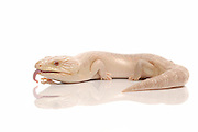 Albino Eastern Blue Tongue Skink (Tiliqua scincoides scincoides) on white