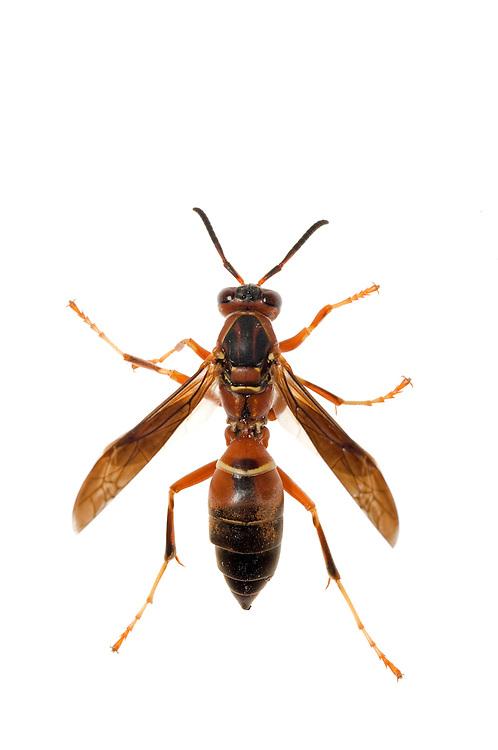 Paper Wasp (Polistes metricus)