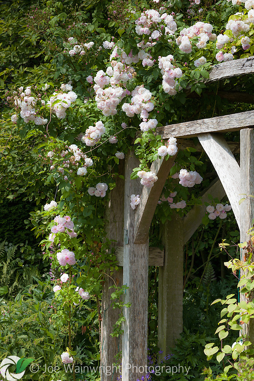 A climbing rose scrambles over the loggia in the Font Garden section of Wollerton Old Hall Garden, Shropshire.